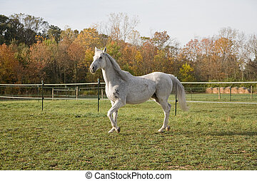 Thoroughbred Horse - White Thoroughbred Horse on the Farm