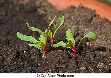 Swiss chard seedlings. - Swiss Chard (Bright Lights)...