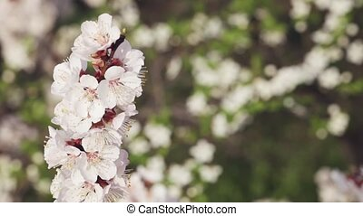 Flowering cherry - Branch with cherry flowers on a...