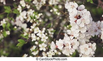Flowering cherrys - Branch with cherry flowers on a...