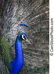 file of natural shot of indian peacock with beautiful tail plumage  in jumgle wild