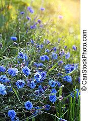 Blue cornflowers on meadow