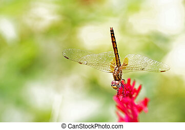 dragonfly and flower - dragonfly is staying on plumed...