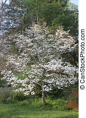 Blooming Dogwood Tree - A blooming dogwood tree in early...