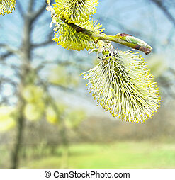 spring blossoming osier tree