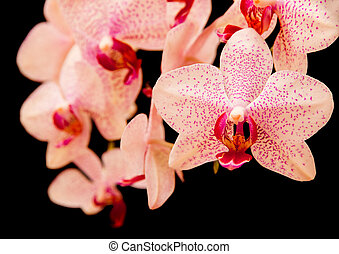 phalaenopsis orchid on black