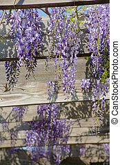 wistaria - Spring time: flowers of wistaria plant