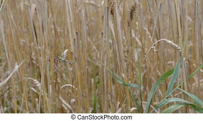 wasp spider wheat ear