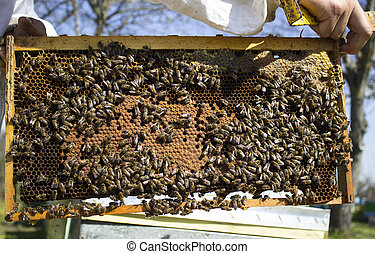 Honeycomb with bees and honey - bees is working hard