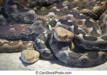 Macedonian Horned Viper - Long Nosed Viper, Vipera Ammodytes