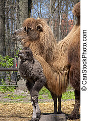 Camel calf and mother - Two-humped camel (Camelus...