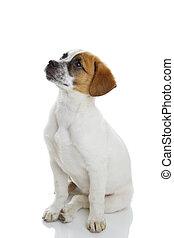 Obedient sitting dog - Obedient terrier dog puppy sitting...