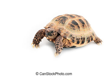 Asian (Russian) tortoise on white background