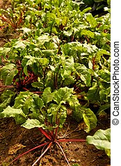 Leafy Green Beet Plants in Garden - Garden furrow full of...