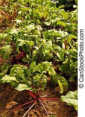 Leafy Green Beet Plants in Garden - Garden furrow full of...