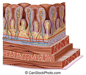 Stomach wall - Schematic illustration of a segment of the...