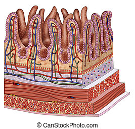 Bowel wall - Schematic illustration of a segment of the...