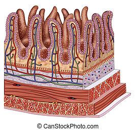 intestin, mur