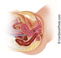 Female reproductive tract - Picture of a woman's...