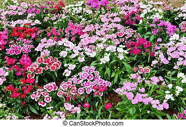 Flowerbed of Dianthus barbatus