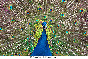 Peacock display - close up view of a peacock showing...