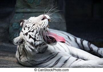 White Tiger Yawing - Beautiful yawning white tiger lying on...