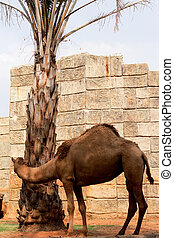 Camel in the zoo.
