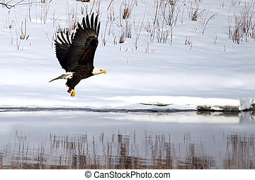 American Bald Eagle fishing in a half frozen river