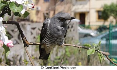 Cuckoo On Tree Branch - Common Cuckoo Cuculus Canorus...