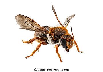abeja, especie, Anthidium, sticticum, común, nombre,...