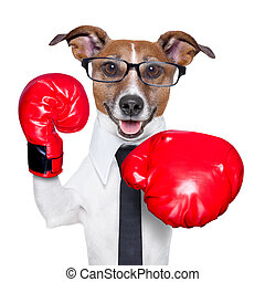 Boxing dog - Boxing business dog punching towards camera...