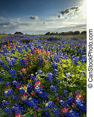 Wildflowers in Late Afternoon Sun - Bluebonnets and Indian...