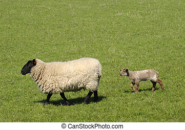 Follow Me - Mother sheep leading her lamb through green...
