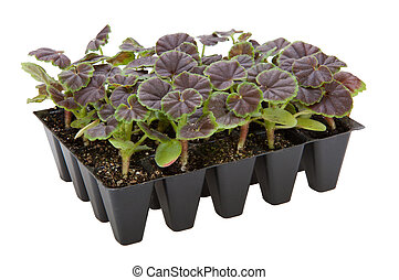 Gernaium plants in seed tray ready for potting up - Geranium...