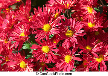 Chrysanthemum flower bed - Flower bed of red chrysanthemums