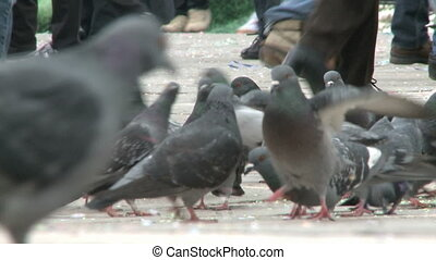 Pigeons on St Marks Square in Venice