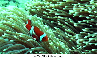 clown anemone - Bright orange clown fish dancing around her...
