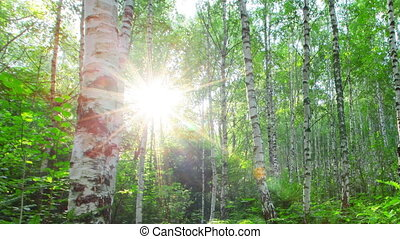 morning in a birch forest