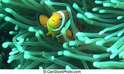 clown fish2