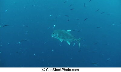Giant trevally - Powerful Giant Trevally constantly patrol...