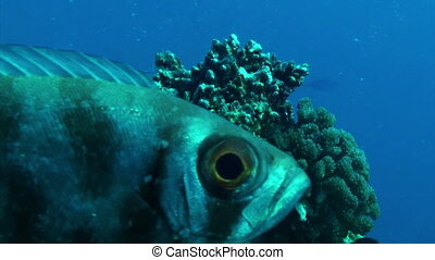 Fish eye - Close up of a large fish eye. Great barrier reef...