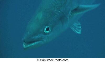 Hunting mackerel close up - Close up of a menacing looking...