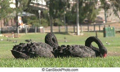 Black Swans in Park - Black Swans in Adelaide city park