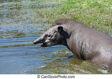 Tapir in the water - Lowland tapir (Tapirus terrestris) in...