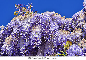 climbed the wall glycine mauve - lilac-colored spring...