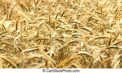 Wheat field breeze