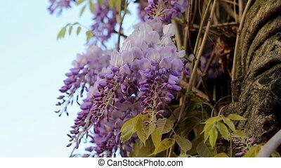 Climbing Wisteria Vine Blooming - Climbing Wisteria Vine...