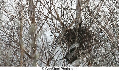 Magpies - Two magpies build a nest for breeding
