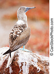 Blue footed booby - Close up of blue footed booby at...