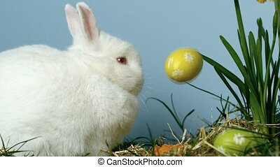 Three easter eggs falling in front of a cute white bunny in...